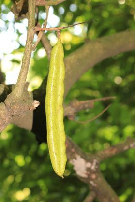 ceratonia_siliqua_fruto_verde