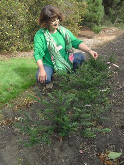 taxus_conservation