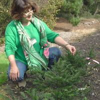 taxus_conservation_photo