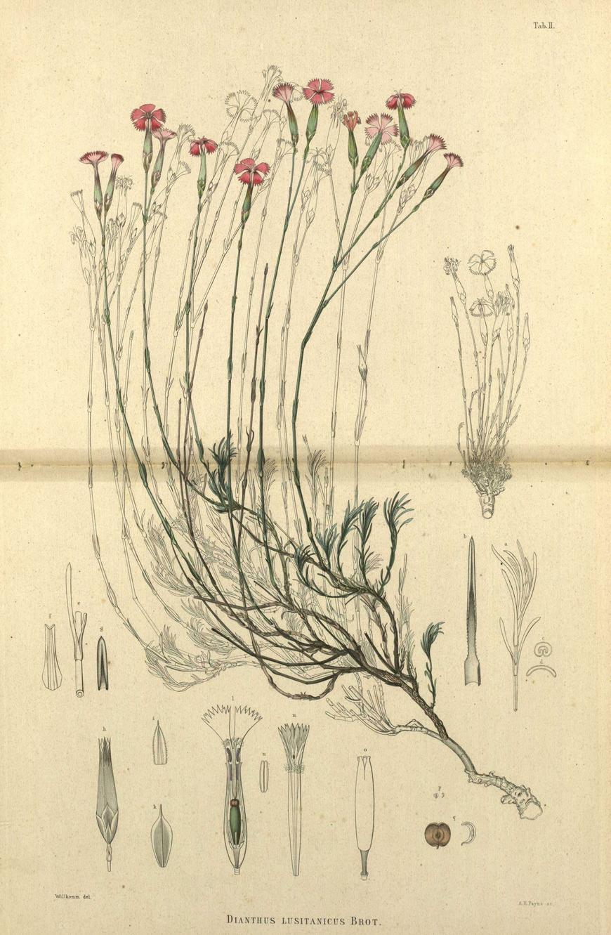 dianthus lusitanicus
