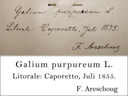 Areschoug Transcription