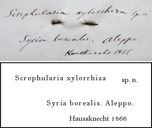 Haussknecht Transcription