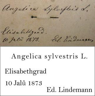 Lindemann Transcription