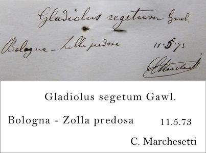 Marchesetti Transcription