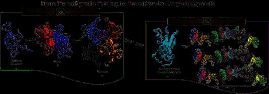 Transthyretin Folding and Amyloidosis