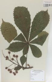 020 - Aesculus hippocastanum L.
