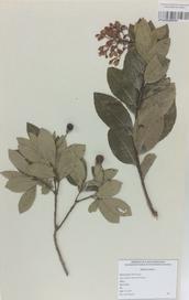 025 - Arbutus unedo L.