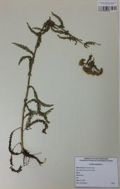 035 - Achillea millefolium L.