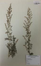 082 - Artemisia absinthium L.