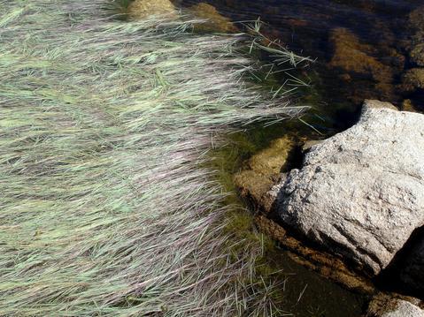 Antinoria em lagoacho permanente