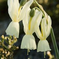 Amaryllidaceae_croped