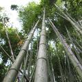 Bambuzal | <i>Bamboo grove</i>