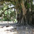 <i>Ficus macrophylla</i>