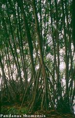 Pandanus thomensis