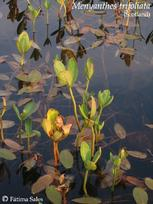 Menyanthes_trifoliata__Scotland_